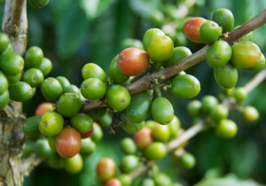 Columbian-Coffee-Beans
